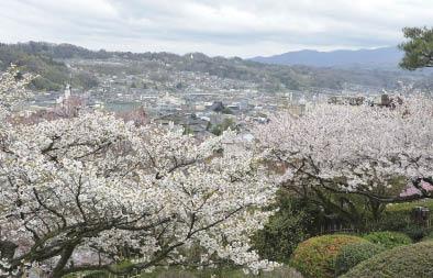 層層疊疊盛開的櫻花.jpg