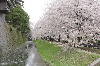 香飄滿城的櫻花.jpg