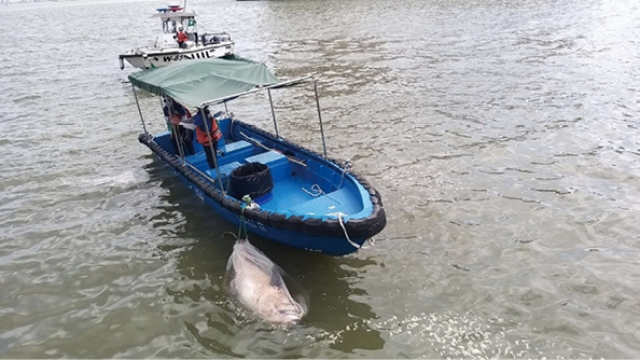 連續兩日發現海豚屍