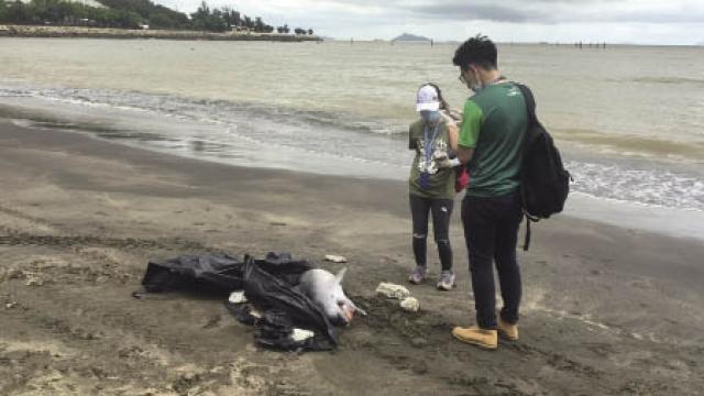 海豚澳水域擱淺屍體沖上黑沙灘