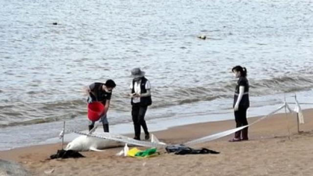 一中華白海豚擱淺_屍體沖上竹灣海灘