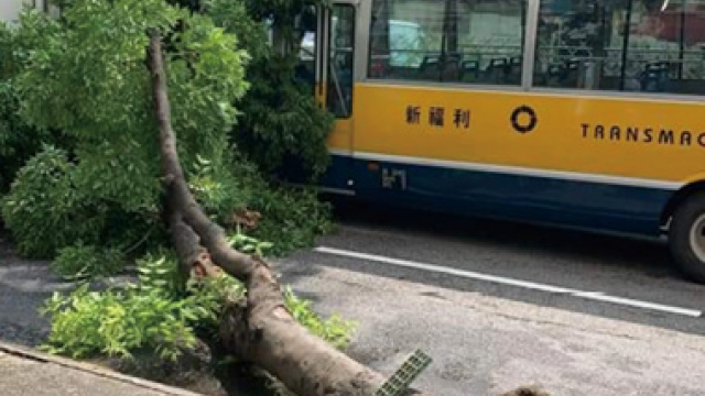 氹仔一樹倒塌阻礙交通_出現腐根曾被貨車碰撞
