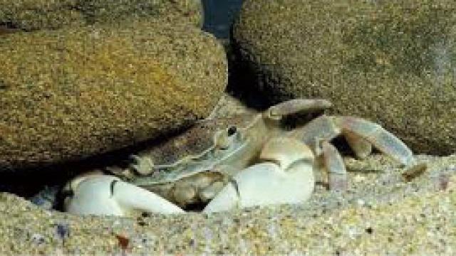 大石砸死蟹