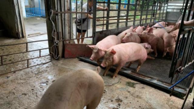 近春節活豬貨源緊張_冰鮮急凍肉足應需求