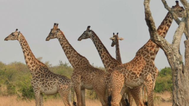 東非動物大遷徙
